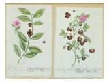 Tea and China Tea, Plate from 'Herbarium Blackwellianum' Published 1757 in Nuremberg, Germany Giclee Print by Elizabeth Blackwell