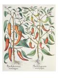 Peppers: 1.Piper Indicum Maximum Longum; 2.Piper Indicum Minus Recurvis Filiquis Giclee Print by  German School