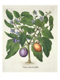 Aubergine: Melanzana Fructu Pallido, from the 'Hortus Eystettensis' by Basil Besler Giclee Print by  German School