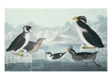 Black-Throated Guillemot, Nobbed-Billed Auk, Curled-Crested Auk, Horn-Billed Guillemot Giclee Print by John James Audubon
