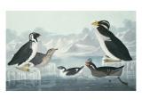 Black-Throated Guillemot, Nobbed-Billed Auk, Curled-Crested Auk, Horn-Billed Guillemot Giclee Print by John James Audubon