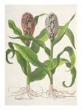 Millet: 1.Sorgum Fructu Rubro; 2.Sorgo Fructu Albo, from the 'Hortus Eystettensis' by Basil Besler Giclee Print by  German School