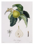 Poire D&#39;Ange, Engraved by Bocourt, Published 1755 Giclee Print by Pierre-Antoine Poiteau