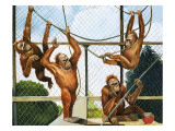 Orangutans, Illustration from 'Who's Who at the Zoo', 1968 Giclee Print by G. W Backhouse