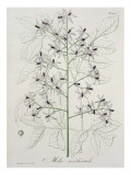 Melia Azedarach from 'Phytographie Medicale' by Joseph Roques Giclee Print by L.f.j. Hoquart