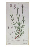 Lavender, Plate from 'Herbarium Blackwellianum' by the Artist, 1757 Giclee Print by Elizabeth Blackwell