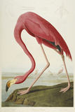 American Flamingo, from 'The Birds of America' Premium Giclee Print by John James Audubon