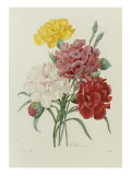 Carnations, from &#39;Choix Des Plus Belles Fleures&#39;, C.1833 Giclee Print by P.j. Redoute