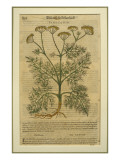 Fennel, a Botanical Plate from the 'Discorsi' by Pietro Andrea Mattioli Giclée-tryk af  Italian School