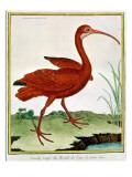 Histoire Naturelle Des Oiseaux - Le Courly Rouge Giclee Print by Georges-Louis Buffon