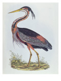 Purple Heron, from 'Illustration of British Ornithology' Giclee Print by Prideaux John Selby