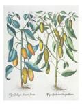 Peppers: 1.Piper Indicum Filiquis Flavis; 2.Piper Indicum Aureum Latum Giclee Print by  German School