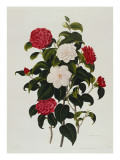 Buff or Hume&#39;s Blush Camellia: Myrtle Leaved Camellia, Engraved by Weddell, 1819 Giclee Print by Clara Maria Pope