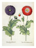 Poppies: 1.Papaver Flore Multiplici Incarnato; 2.Papaver Flore Multiplici Purpurascente Giclee Print by  German School