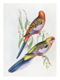 Platycercus Adelaidae from the Birds of Australia, C.1840 Giclee Print by John Gould