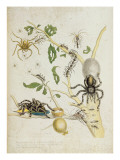Spiders: Mygole, Plate 18 from 'Over De Voorteeling', 1730 Premium Giclee Print by Maria Sibylla Graff Merian