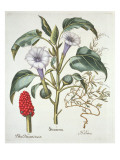 Thorn Apple, from the 'Hortus Eystettensis' by Basil Besler Giclee Print by  German School