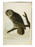 Great Cinereous Owl, from 'The Birds of America' Giclee Print by John James Audubon