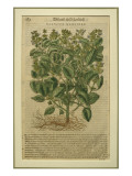 Basil, a Botanical Plate from the 'Discorsi' by Pietro Andrea Mattioli Giclée-tryk af  Italian School