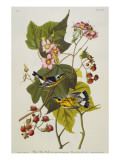 Black and Yellow Warbler. Magnolia Warbler Reproduction procédé giclée par Audubon