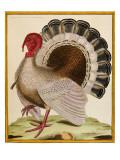 A Turkey, from 'Histoire Nouvelles Des Oiseaux', 1771-86 Giclee Print by Georges-Louis Buffon