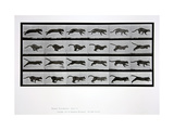 Cat Running, Plate 720 from 'Animal Locomotion', 1887 Giclee Print by Eadweard Muybridge