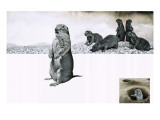 The Prairie Dog of North America Giclee Print by David Nockels