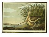 Male and Female Long Billed Curlew Premium Giclee Print by John James Audubon