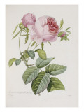 Rose, Engraved by Eustache Hyacinthe Langlois Giclee Print by P.j. Redoute