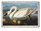 Common American Swan. Whistling Swan Giclee Print by John James Audubon