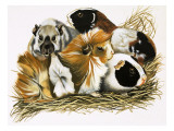 All Sorts of Guinea Pigs, 1972 Giclee Print by R. B. Davis