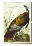 Great American Beck Male. Wild Turkey Giclee Print by John James Audubon