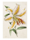 Lily, from 'The Floral Magazine', 1861-71 Giclee Print by James Andrews
