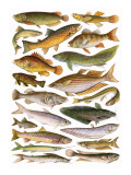 Fresh Water Fishes of the Empire - Australian Region Giclee Print by  English School