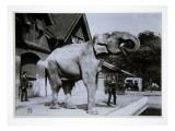 Jumbo the Elephant at London Zoo, 1870S Giclee Print by  English Photographer