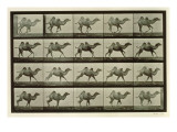 Camel, Plate from 'Animal Locomotion', 1887 Giclee Print by Eadweard Muybridge