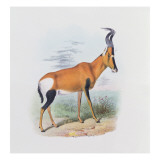 Antelope, from 'The Book of Antelopes', Giclee Print by Joseph Wolf