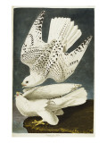 Iceland or Jer Falcon. Gyrfalcon Giclee Print by  Audubon