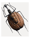 Weevil, of the Beetle Family, 1966 Giclee Print by R. B. Davis