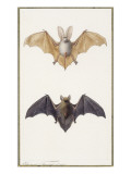 Long-Eared Bat and a Common Bat, 1834 Giclee Print by Edouard Travies