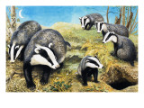 Badgers, from 'Nature Wonderland', 1970 Giclee Print by R. B. Davis