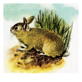 Common English Rabbit Giclee Print by  English School