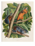 Red-Bellied Squirrel Giclee Print by John James Audubon