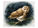 The Tawny Owl, 1970 Premium Giclee Print by John Chalkley