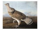 Ruffed Goose, C.1812 Giclee Print by  Audubon