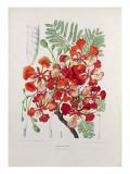 Poinciana Regia Giclee Print by Berthe Hoola Van Nooten