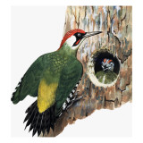 Woodpecker and Chick Giclee Print by R. B. Davis