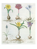 Narcissi, Crocuses and Hyacinth Giclee Print by  German School