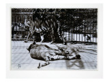 Tigers at London Zoo, 1870S Giclee Print by English Photographer