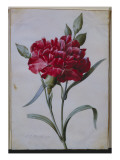 A Dark Red Carnation, 1822 Giclee Print by P.j. Redoute
